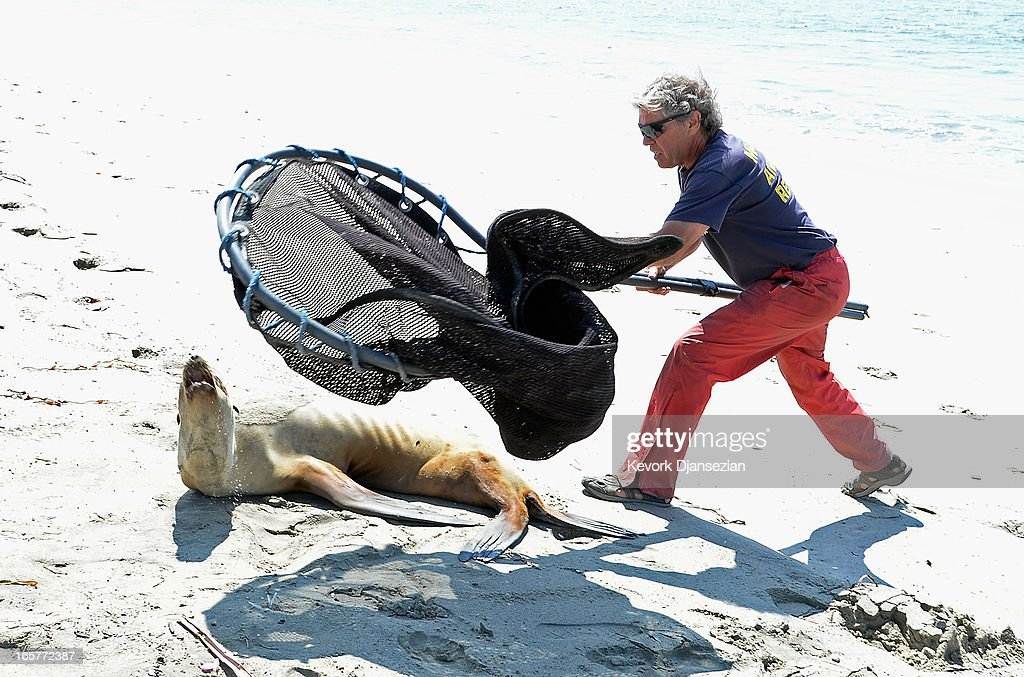 A stranded and malnourished juvenile sea lion is rescued by Peter Wallerstein of Marine Animal Rescue on April 5, 2013 in Long Beach, California. All along the California coast, sea lions have been getting stranded in great numbers since January for reasons unknown. The National Oceanic and Atmospheric Adminstration estimates that in the first three months of 2013, more than 900 malnourished sea lions have been rescued in the region compared to 100 during the same time period one year ago. Officials have declared an 'unusual mortality event' for the California sea lion, a designation that prompts immediate federal response.