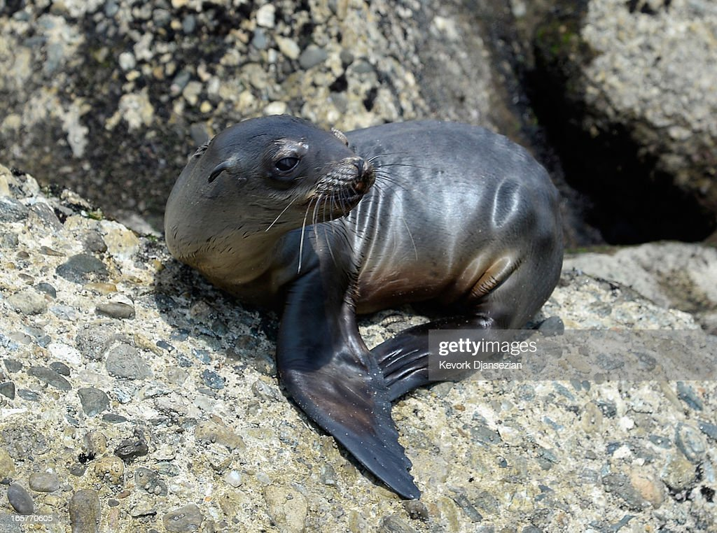 A stranded and malnourished juvenile sea lion pup sits on the rocks of White Point Park waiting to get rescued by Peter Wallerstein of Marine Animal Rescue on April 5, 2013 in the San Pedro area of Los Angeles, California. The sea lion pup, which weighed only 25 pounds, was transported to Marine Mammal Care Center at Fort MacArthur for rehabilitation. All along the California coast, sea lions have been getting stranded in great numbers since January for reasons unknown. The National Oceanic and Atmospheric Adminstration estimates that in the first three months of 2013, more than 900 malnourished sea lions have been rescued in the region compared to 100 during the same time period one year ago. Officials have declared an 'unusual mortality event' for the California sea lion, a designation that prompts immediate federal response.