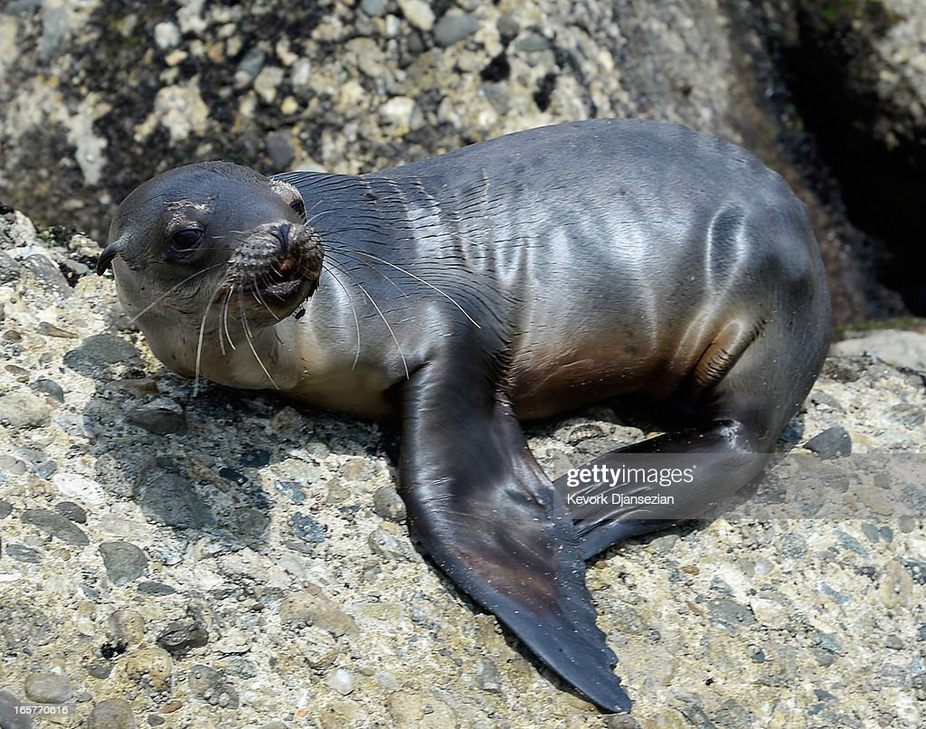 A stranded and malnourished juvenile sea lion pup sits on the rocks of White Point Park before getting rescued by Peter Wallerstein of Marine Animal Rescue on April 5, 2013 in the San Pedro area of Los Angeles, California. The sea lion pup, which ony weighed only 25 pounds, was transported to the Marine Mammal Care Center at Fort MacArthur for rehabilitation. All along the California coast, sea lions have been getting stranded in great numbers since January for reasons unknown. The National Oceanic and Atmospheric Adminstration estimates that in the first three months of 2013, more than 900 malnourished sea lions have been rescued in the region compared to 100 during the same time period one year ago. Officials have declared an 'unusual mortality event' for the California sea lion, a designation that prompts immediate federal response.