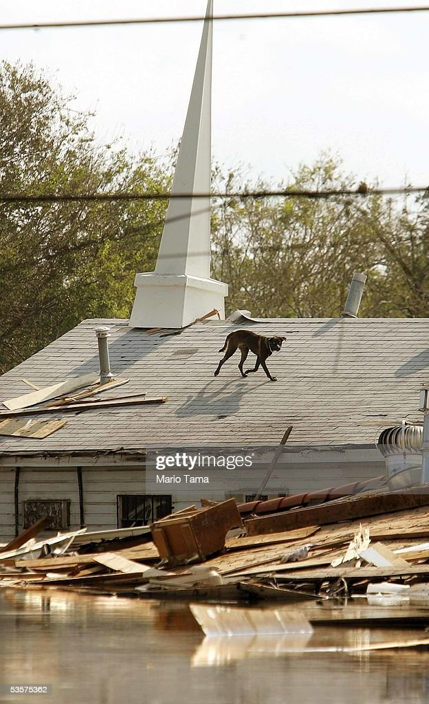 A stranded dog runs on a church rooftop in high water after Hurricane Katrina devastated the area August 31, 2005 in New Orleans, Louisiana. Devastation is widespread throughout the city with water approximately 12 feet high in some areas. Hundreds are feared dead and thousands were left homeless in Louisiana, Mississippi, Alabama and Florida by the storm.