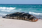 A stranded sperm whale lies dead on the beach of Socotra island, Yemen