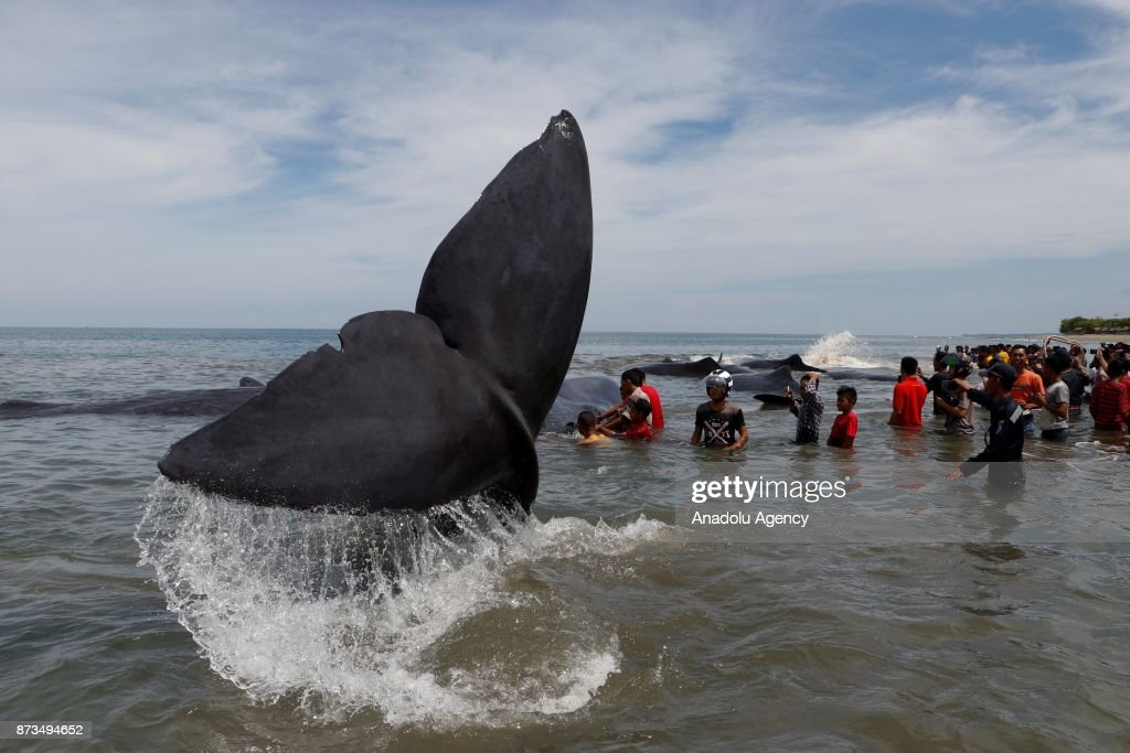Stranded whales are seen as people are gathered at Ujong Kareung Beach in Aceh, Indonesia on November 13, 2017. Aceh rescue crews and members of environmental NGO's are trying to save the nine stranded whales by pushing them back into ocean.