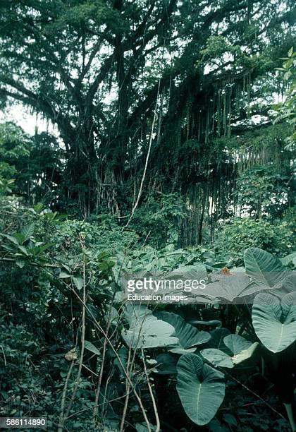 Strangler fig and alocasias Ficus sp Aracaea