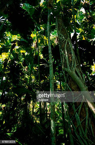 Strangler fig Ficus sp and Fan palms Lucuala ramsayi in Cassowary habitat Mission Beach North Queensland Australia