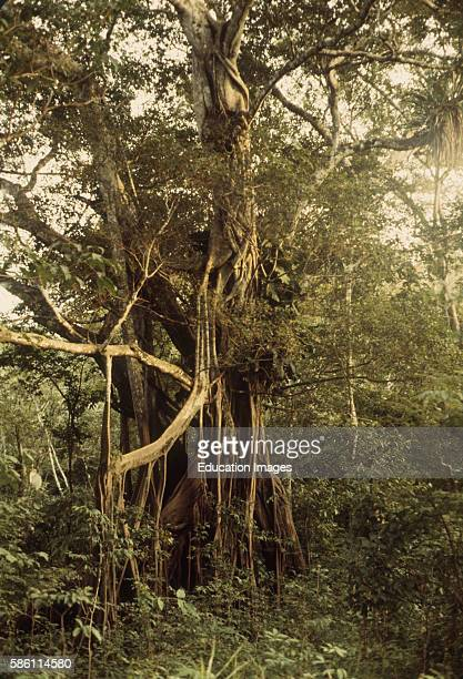 Strangler Fig starts as seed dropped by bird in host tree crotchkills host and nearby trees River Central Amazon Basin Brazil Ficus sp