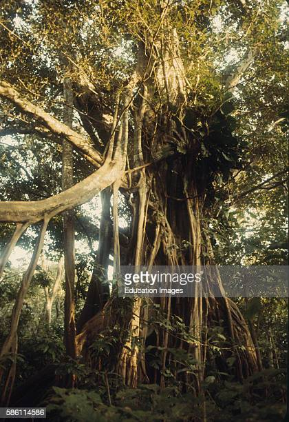 Strangler Fig starts as seed dropped by bird in host tree crotchkills host and nearby trees June River Central Amazon Basin Brazil Ficus sp