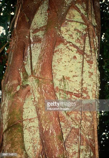 Strangler fig tree Parasite in process of strangling a host tree Costa Rica Ficus sp