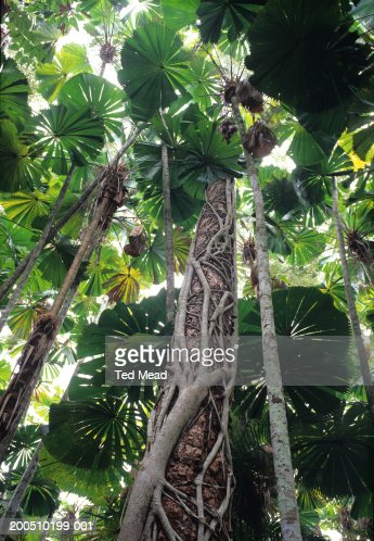 Strangler Figs (Ficus watkinsiana) and Fan Palms (Licuala ramsayi) : Stock Photo