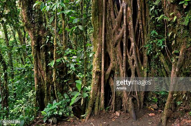 Strangler fig's vines enveloping trunk of host tree Carara National Park Costa Rica