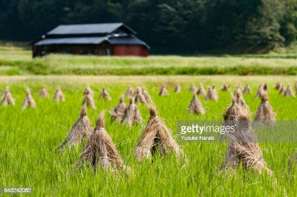 Straw binded in sheafs on a rice field