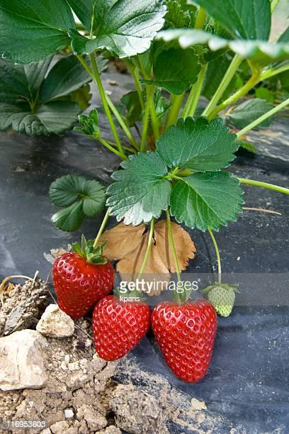 Erdbeeren wachsen im Feld