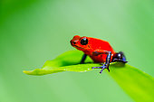 Strawberry or Blue Jeans Poison Dart Frog on a leaf, Costa Rica, oophaga pumilio.