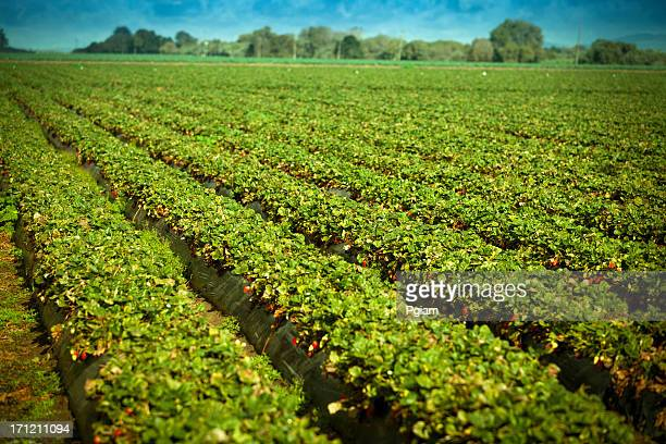 Strawberry crops grow on fertile farm land