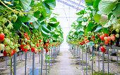 rows of strawberry in  farm