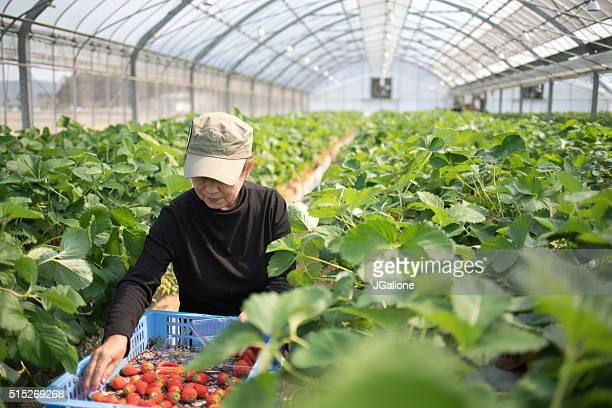 Erdbeere Landwirt ernten Sie Ernte