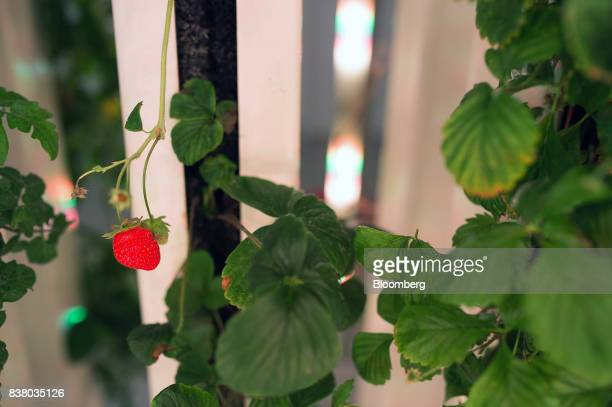 A strawberry grows among a variety of test crops at Modular Farms Co headquarters in Brampton Ontario Canada on Friday Aug 11 2017 The popularity of...
