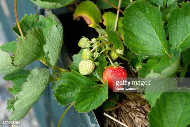 Strawberry in home gardening