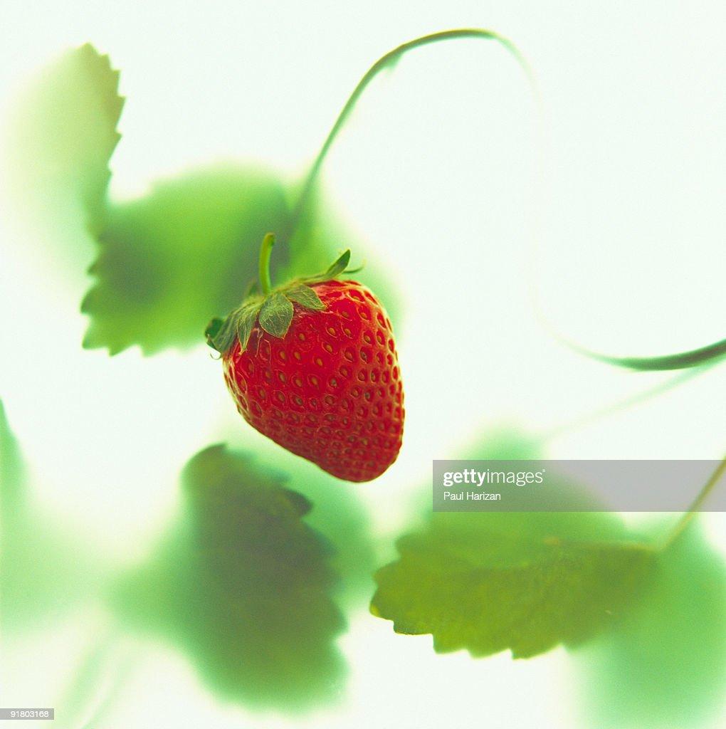 Strawberry on vine : Stock Photo