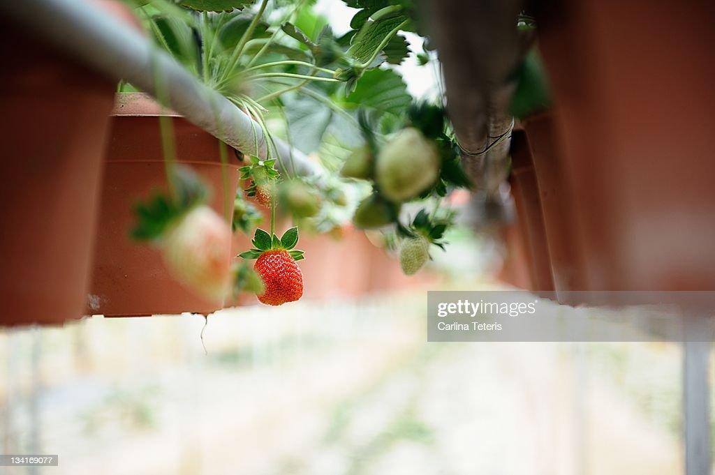 Strawberry pots : Stock Photo