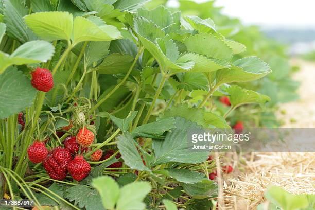 Erdbeer-Zeile