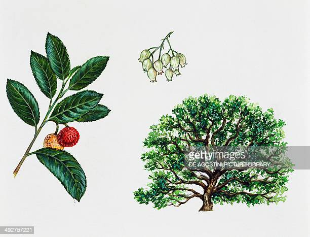 Strawberry tree Ericaceae tree leaves flowers and fruit illustration