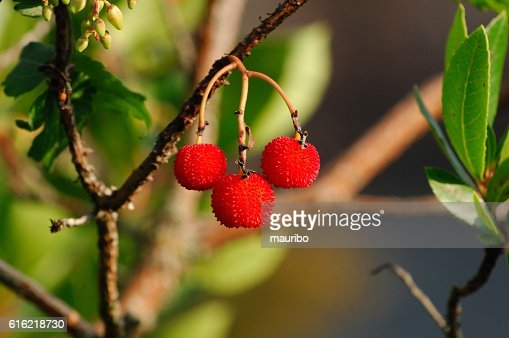 Strawberry tree (Arbutus unedo) : Stock Photo