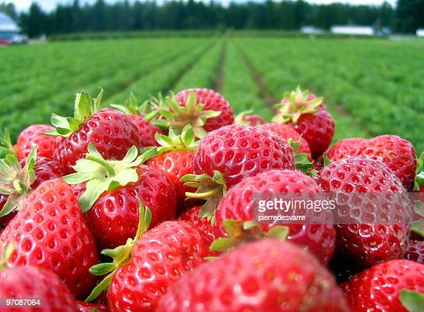 Strawberrys and field.