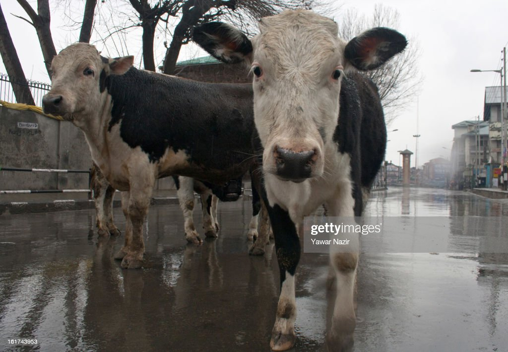 Stray cows walk on a road in the city centre during a strict curfew on the seventh consecutive day, imposed after the execution of alleged Indian parliament attacker Mohammad Afzal Guru on February 15, 2013 in Srinagar, the summer capital of Indian Administered Kashmir, India. Afzal Guru, from Sopore town in the north of Kashmir, was hung on February 09 for his role in the 2001 Indian parliament attack which left 14 dead. The hanging has further strained relations between India - who blamed the attack on 'Pakistan backed' militant group Jaish-e-Mohammed - and neighbouring Pakistan and has seen an military increase from both along the border.Curfew was lifted from some parts of Srinagar after four days.