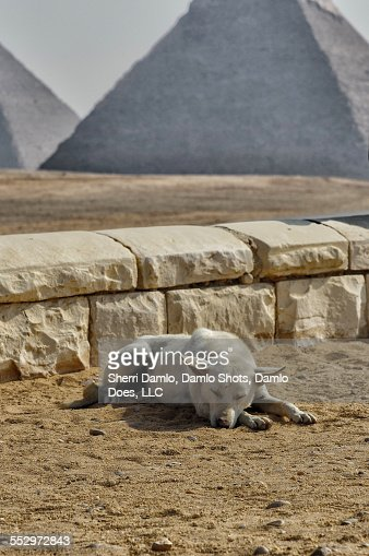 Stray dog at the Pyramids : Stock Photo