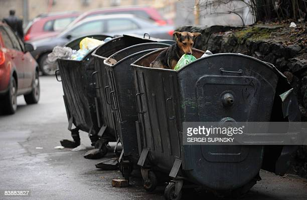 A stray dog follows looks for some food in a waste bin in the centre of Kiev on December 2 2008 AFP PHOTO/ SERGEI SUPINSKY