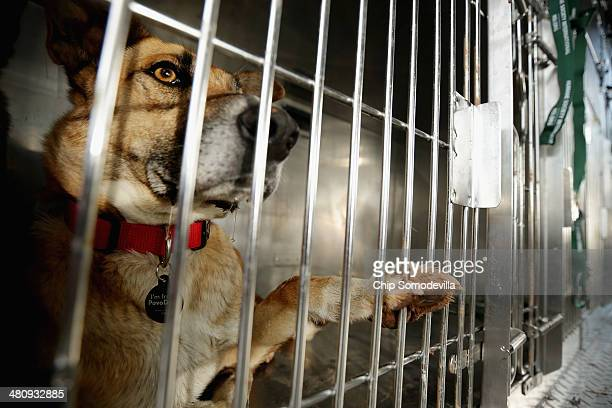 A stray dog from Sochi Russia waits in its travel crate after arriving at the Washington Animal Rescue League March 27 2014 in Washington DC The...