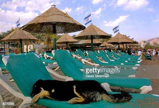 A stray dog has its choice of chairs on a beach in the southern Israeli city of Eilat May 4 which in previous years would have been packed full with...