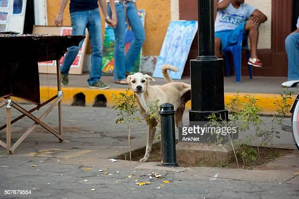 Streunende Hund pissen in der Mitte von verkehrsreichen Strasse