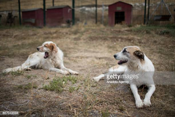 Stray dog is seen in a cage at the shelter in Cayyolu district of Ankara Turkey on October 3 2017 This animal shelter hosts 450 different species of...