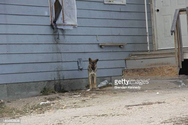 A stray dog looks for food outside a house in Easterville Manitoba a First Nations reserve five hours north of Winnipeg that's home to Shelly Lynn...