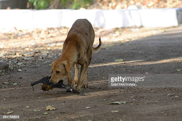 A stray dog picks up a dead bat which fell from the branches of a Banyan tree on the campus of Gujarat College in Ahmedabad on May 28 2014 Due to the...