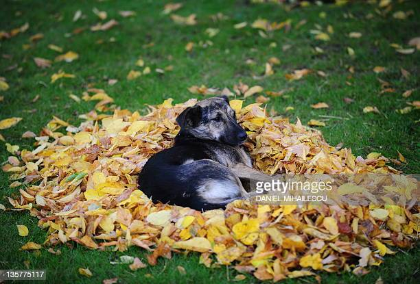 A stray dog rests on a pile of autumn leaves in a park in Bucharest on October 18 2010 AFP PHOTO / DANIEL MIHAILESCU