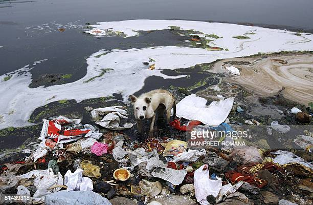 A stray dog searches for food in the polluted water of the river Yamuna in New Delhi on June 5 2008 The national capital is a major culprit in the...