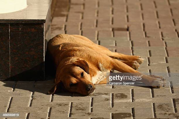 A stray dog sleeps on a footpath at Rosa Khutor Mountain cluster village ahead of the Sochi 2014 Winter Olympics on February 2 2014 in Sochi Russia