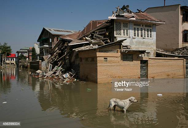 A stray dog stands in front the collapsed house on a road submerged for more than three weeks on September 30 2014 in Srinagar the summer capital of...