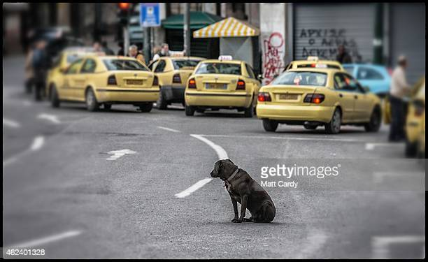 A stray dog waits to cross the road in a main square in the centre of Athens on January 27 2015 in Athens Greece Stray dogs are a common sight in...