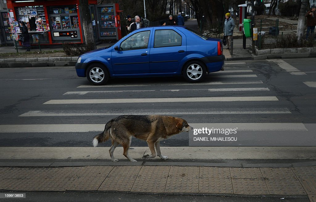A stray dog walks along a crosswalk in Bucharest, Romania on January 23, 2013. Stray dogs crossing at crosswalks are being used by the Romanian traffic police in a new safety campaign to convince pedestrians to be more careful. The example of stray dogs could prove crucial in a country where 360 people died last year because of 'pedestrian lack of discipline' according to the police. More than 1,200 were injured for the same reason. AFP PHOTO / DANIEL MIHAILESCU