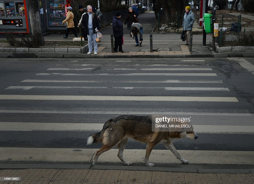 A stray dog walks along a crosswalk in Bucharest, Romania on January 23, 2012. Stray dogs crossing at crosswalks are being used by the Romanian traffic police in a new safety campaign to convince pedestrians to be more careful.'If they can do it, then everyone can do it. Cross on pedestrian crossings!', says the short TV spot while showing several stray dogs using zebras and pelican crossings.The dogs were filmed in real life in several Romanian cities. The example of stray dogs could prove crucial in a country where 360 people died last year because of 'pedestrian lack of discipline' according to the police. More than 1,200 were injured for the same reason.