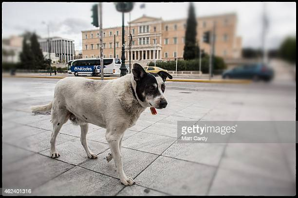 A stray dog walks in front of the Greek parliament building in the centre of Athens on January 27 2015 in Athens Greece Stray dogs are a common sight...