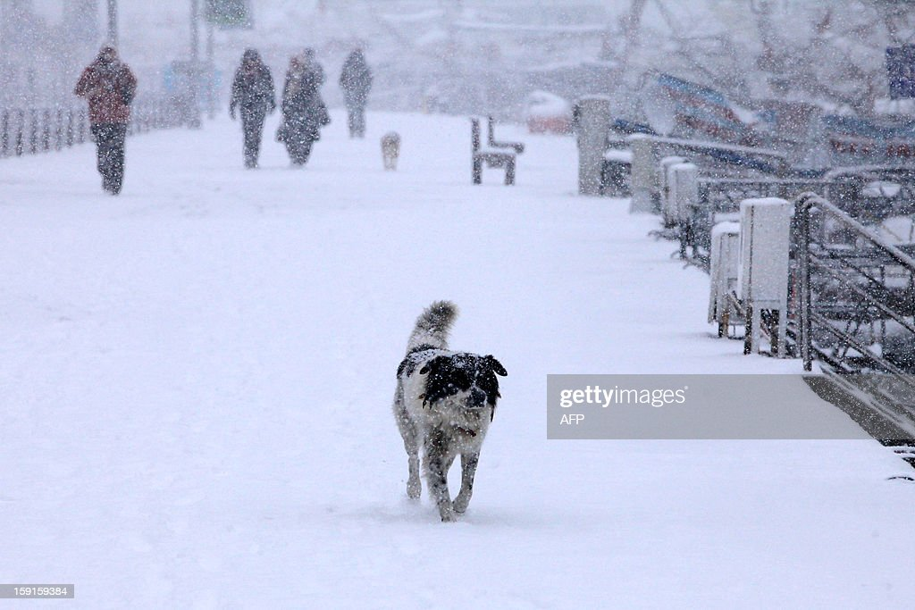 A stray dog walks on the Anatolian side of Istanbul on January 9, 2013. Heavy snowfall blanketed Turkey's commercial hub Istanbul, a city of 15 millions, paralysing daily life, disrupting air traffic and land transport. AFP PHOTO/MIRA