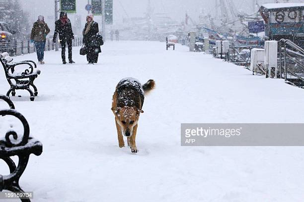 A stray dog walks on the Anatolian side of Istanbul on January 9 2013 Heavy snowfall blanketed Turkey's commercial hub Istanbul a city of 15 millions...