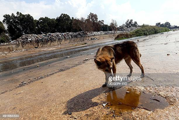 A stray dog walks past piles of waste on the side of a river in Beirut as October rain starts to shower the Lebanese capital on October 7 2015 AFP...