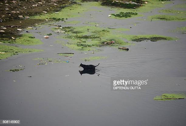 A stray dog walks through the polluted Mahananda river in Siliguri on February 3 2016 AFP PHOTO / Diptendu DUTTA / AFP / DIPTENDU DUTTA