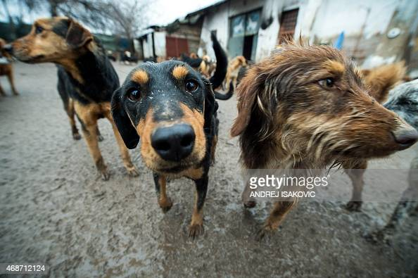 Stray dogs are seen at an animal shelter on January 28 in the Serbian city of Nis 200 kilometers south of capital Belgrade More than 450 dogs have...