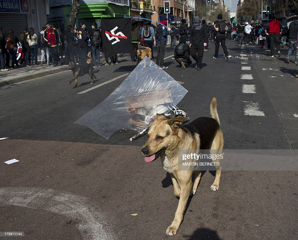 Stray dogs play around during a demonstration against the government of Chilean President Sebastian Pinera in Santiago on July 11, 2013 in Santiago. Since the beginning of the massive marchs of students protesting against the education system in 2011, scores of stray dogs happily participate in all the clashes with riot police, playing under the jets of the water cannons and accompanying the students whilst they are chased by police. In Santiago there are about 500,000 stray dogs, according to municipal authorities.